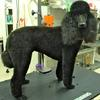 Toto the Poodle in one of her many different trims